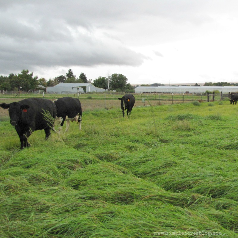 black angus at simple acres