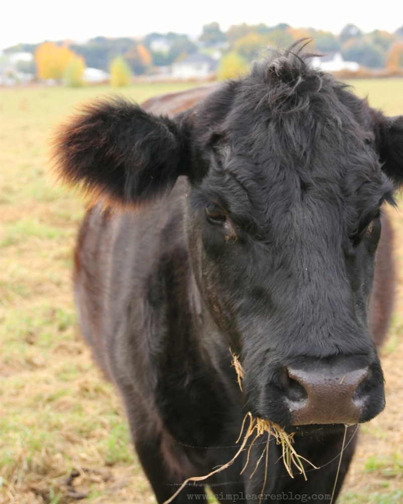 black-angus-cattle